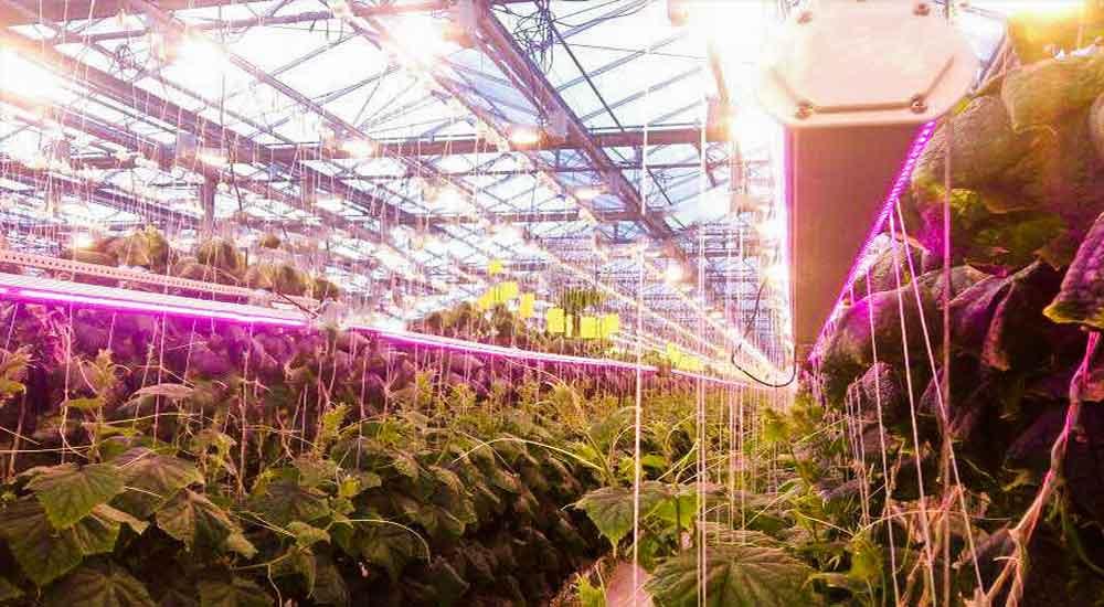 دمای توصیه شده برای خیار گلخانه ای-کشت خیار در گلخانه
