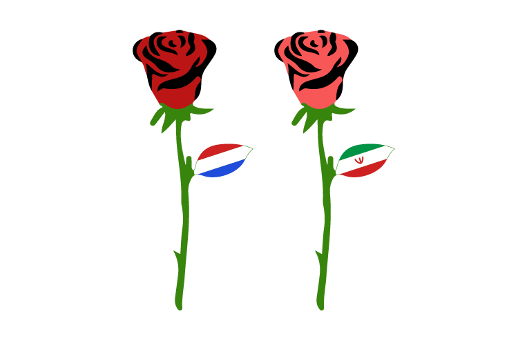 تفاوت رنگ گلبرگ های گل رز هلندی و رز ایرانی