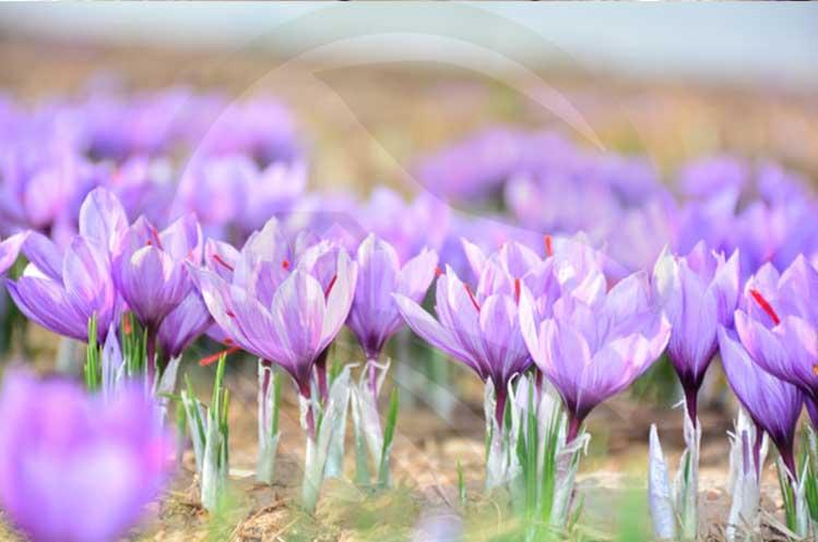 پرورش زعفران در گلخانه-پرسودترین محصولات گلخانه ای-نهال رویش