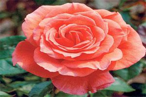 گل رز هلندی گلخانه ای