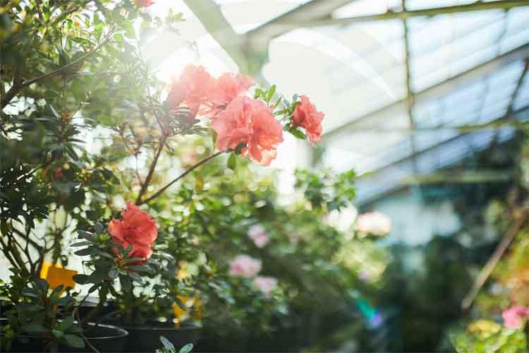 گل رز گلخانه ای