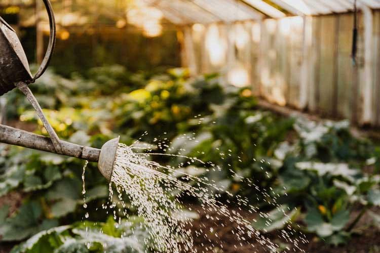 آبیاری توت فرنگی گلخانه ای-nahalrouyesh