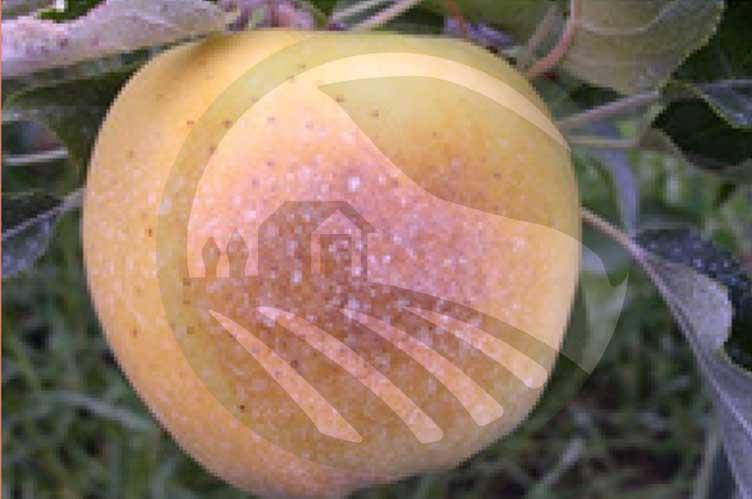 آفتاب سوختگی سیب-نهال رویش|nahalrouyesh