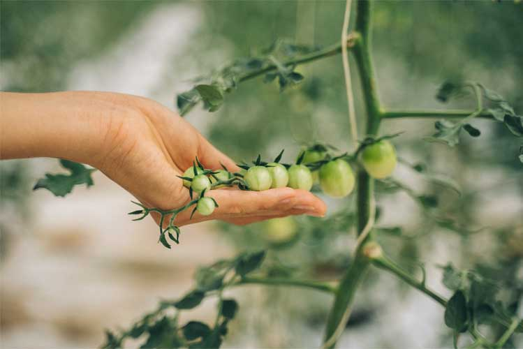 ازدیاد توت فرنگی گلخانه ای-nahalrouyesh