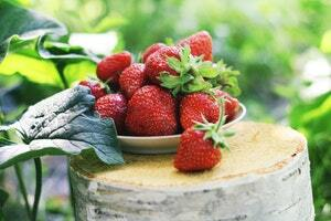 کشت توت فرنگی در گلخانه-nahalrouyesh