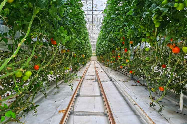 گلخانه هیدروپونیک صنعتی