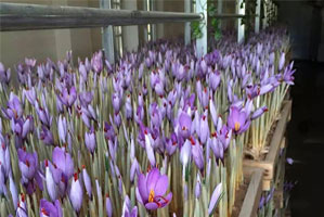 پرورش زعفران در گلخانه